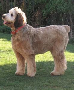 Brt Dog Breed
